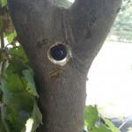 پروژه پلاک کوبی درختان شهر بابل